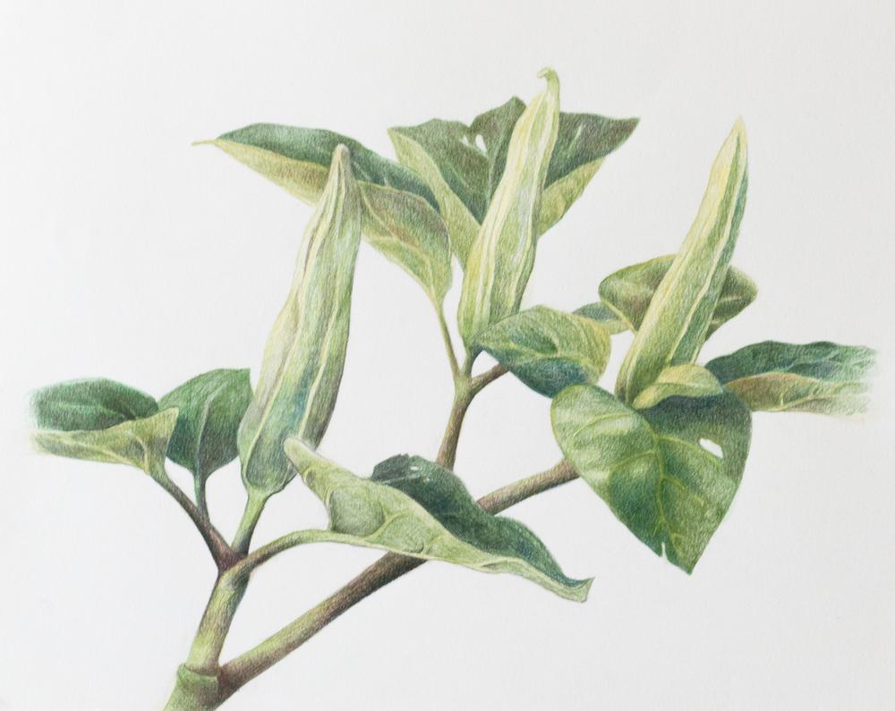 Moonflower Buds