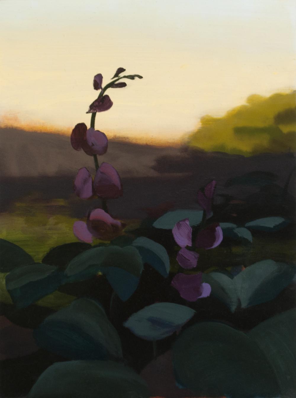 Hyacinth Bean Summer 3