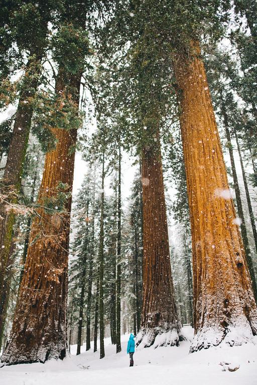 DecemberSequoiaSnow220-XL.jpg