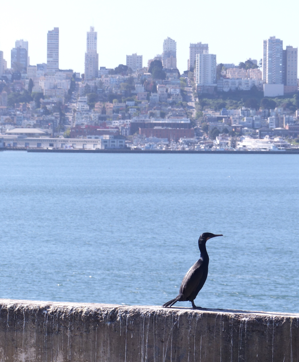 Cormorant on Alcatraz Island with San Francisco behind.  Photo by Heather Robinson.