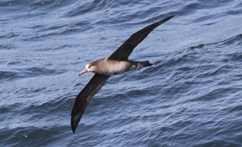 Black-footed albatross.  Photo by Sophie Webb, spring 2017 CalCOFI cruise.