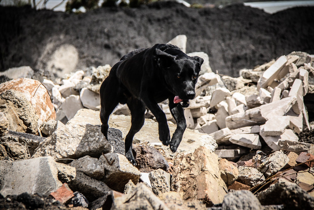 K9 Obie (SARDA) working the rubble in search of survivors during the exercise