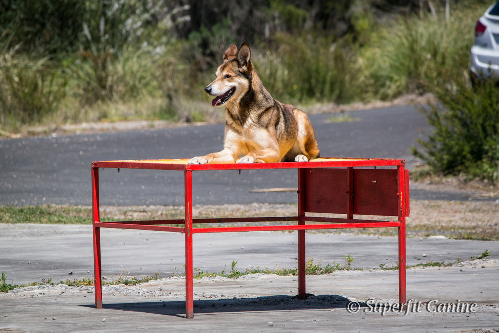 K9 Boof (Search Dogs Sydney) during the Direction and Control portion of the workshop