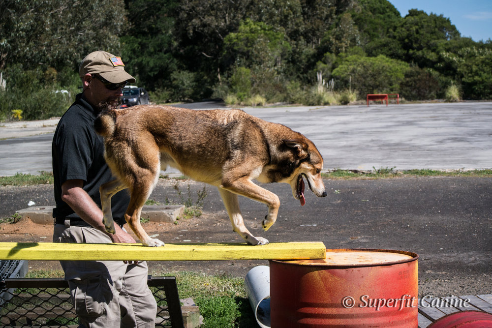 K9 Boof (Search Dogs Sydney) performs a series of agility elements as instructor Eric Darling observes