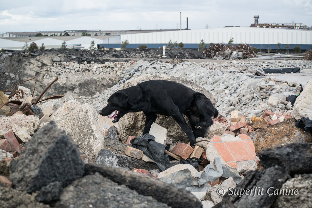 K9 Obie (SARDA) navigates the rubble