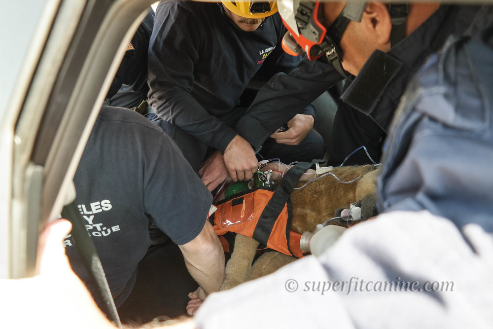 Students evacuate their injured working K9 (mannequin) during an injury scenario.