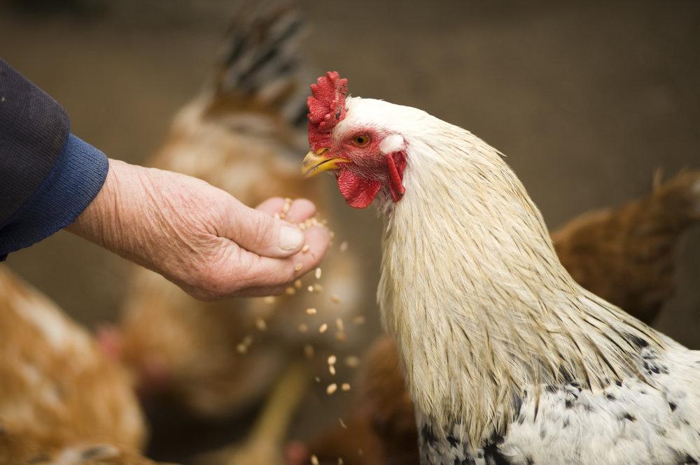 Chicken Photo.jpeg