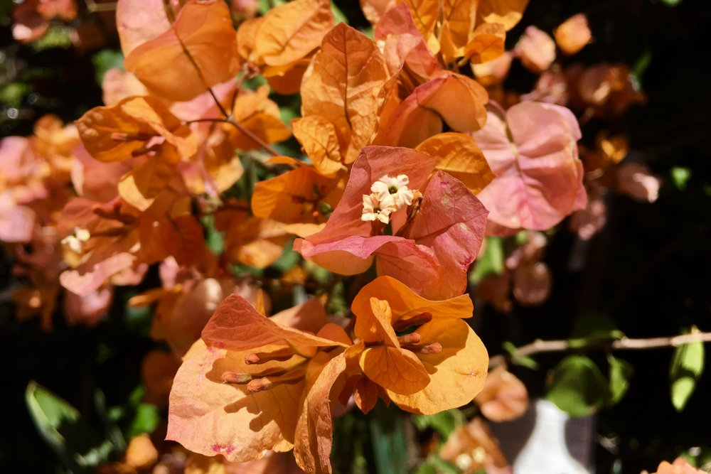 'California Gold' Bougainvillea
