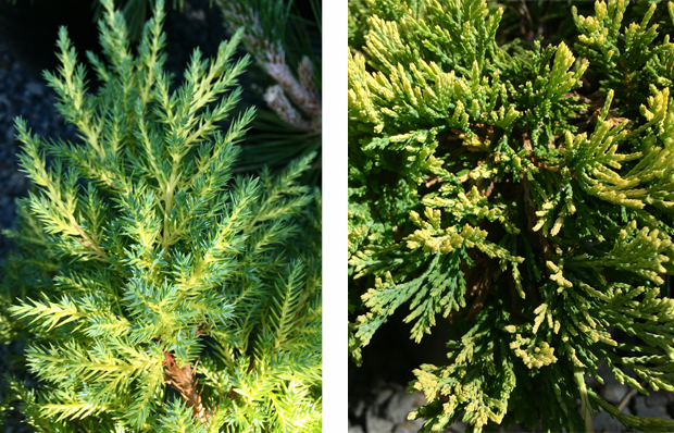 'Daub's Frosted' and 'Mother Lode' Juniper
