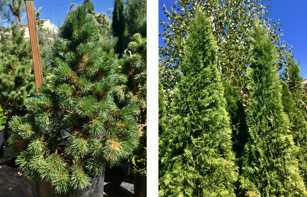 Joe's Bess' Bristlecone Pine and 'Smaragd' Thuja