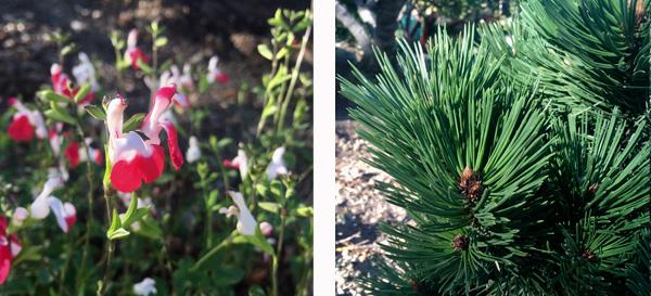Hot Lips Salvia and Irish Bell Bosnian Pine