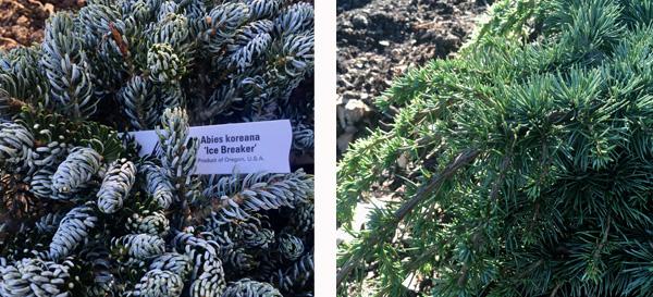 Ice Breaker Korean Fir and Green Wave Cedar