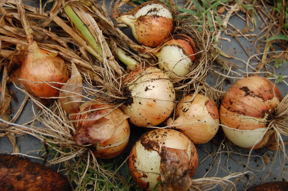 Onion_harvest.jpg