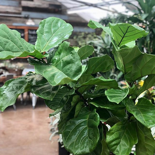 Fiddle Leaf Fig leaves will wilt a little when they're thirsty!