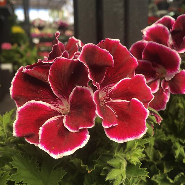 Martha Washington Geraniums