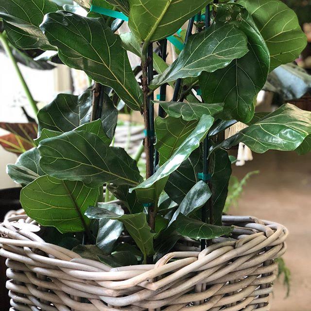 Fiddle Leaf Figs