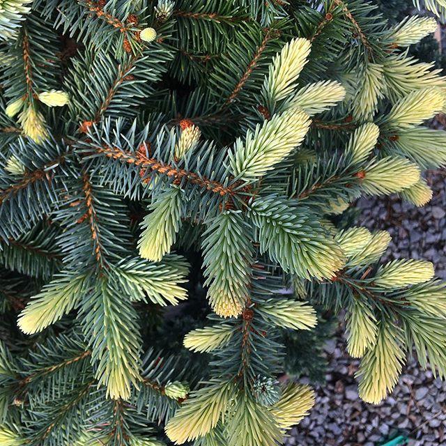 Come visit our conifers!