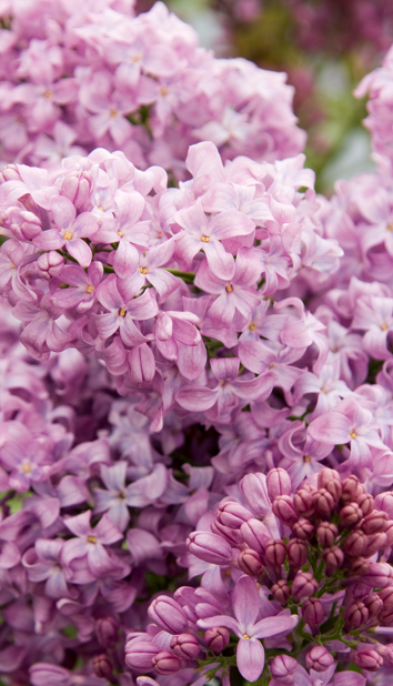 'Lavender Lady' *