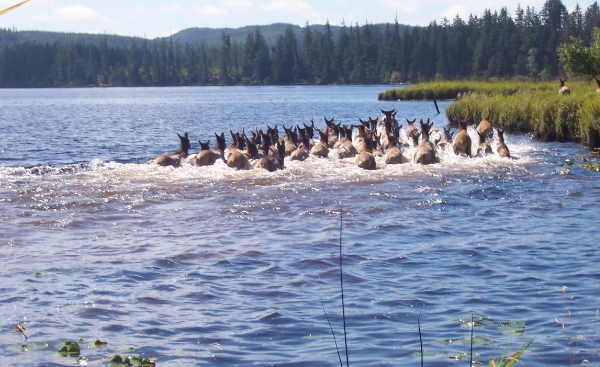 Lake Ozette Roosevelt Elk herd                                                         photo credit: john wilson
