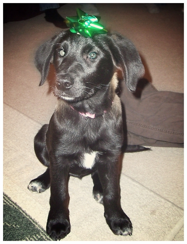 black-border-collie-lab-puppy