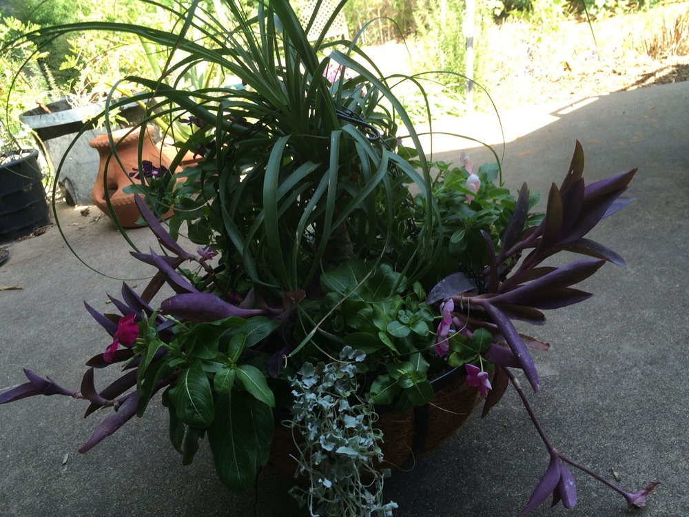 Finished basket with ponytail palm, vinca, silver ponyfoot and purple heart.