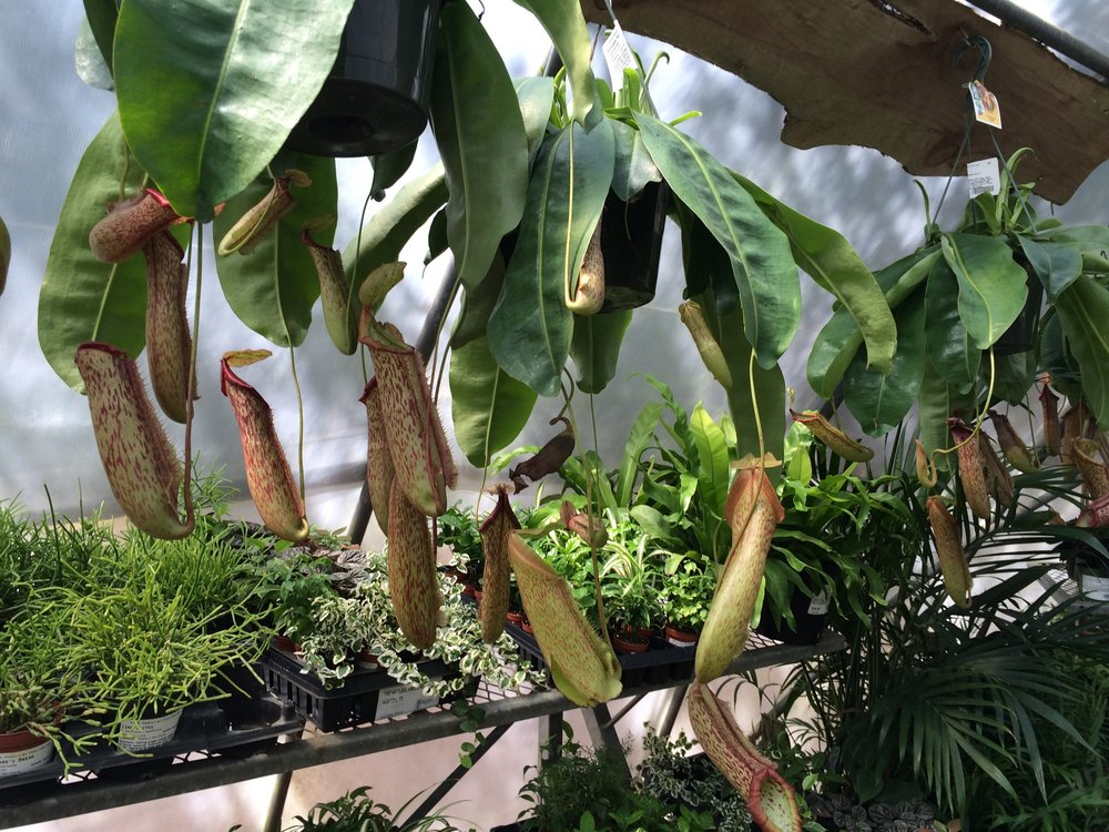 New pitcher plants in the tropical house at Natural Gardener