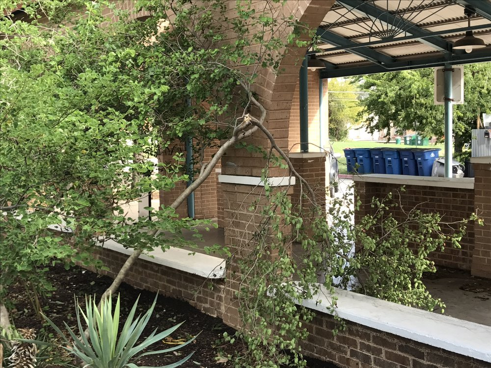 This Anacacho Orchid tree has a snapped branch after the storm. Do you know how to properly remove a damaged limb? Improper pruning can cause more harm than good. Ask me for advice.