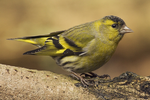 A cute, defenseless Eurasian siskin (photo by Slawek Staszuk)