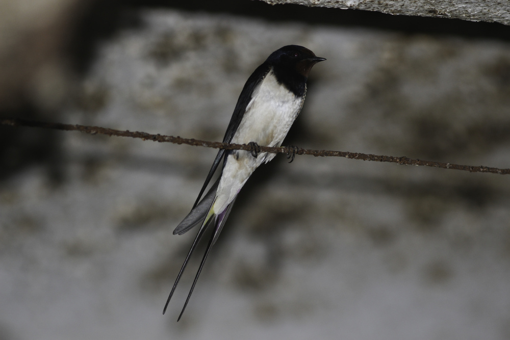 A banded barn swallow: Pink left, yellow right; is there a color band? Can't see it from here...