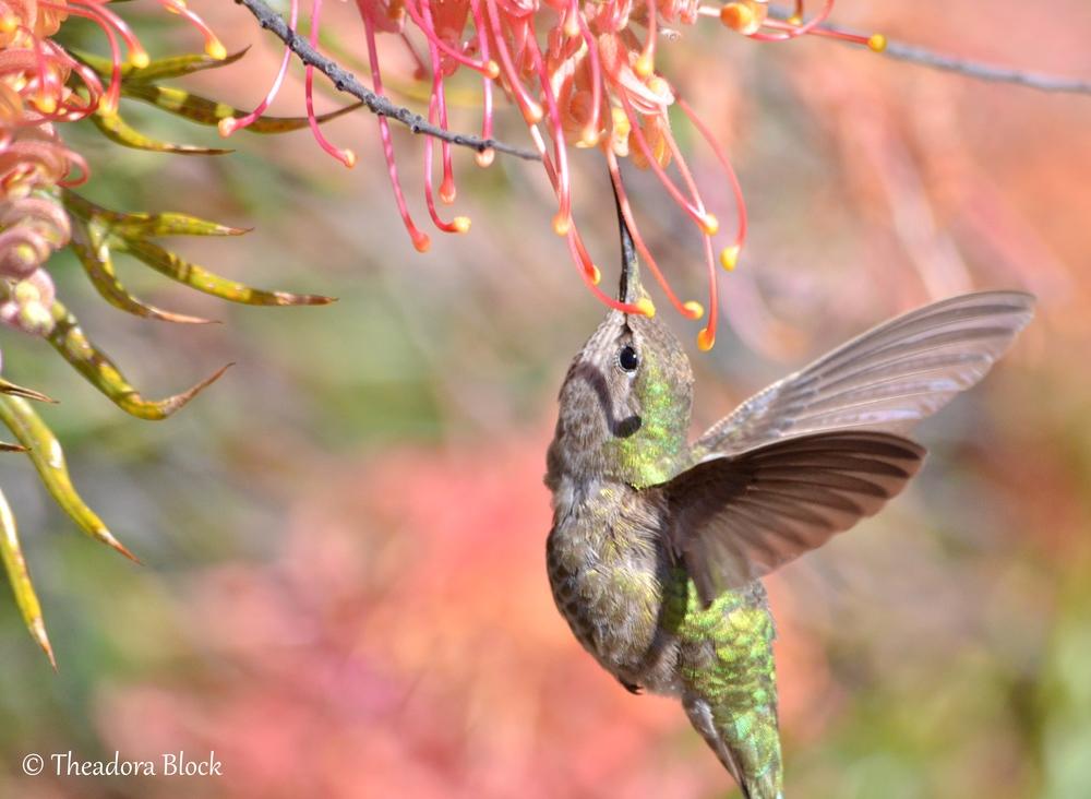 annas-hummingbird_25600163683_o.jpg