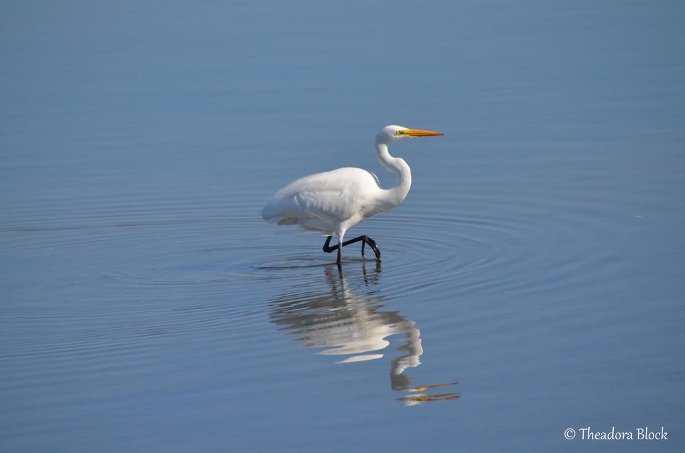 great-egret-ardea-alba_26176919996_o.jpg
