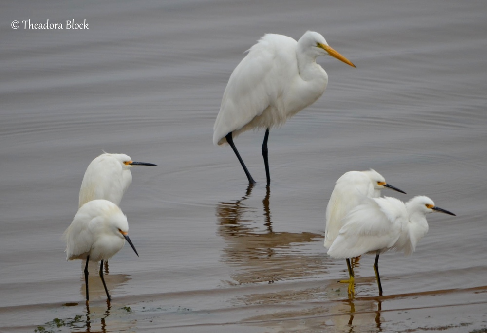 great-egret-with-snowy-egrest_25929981660_o.jpg