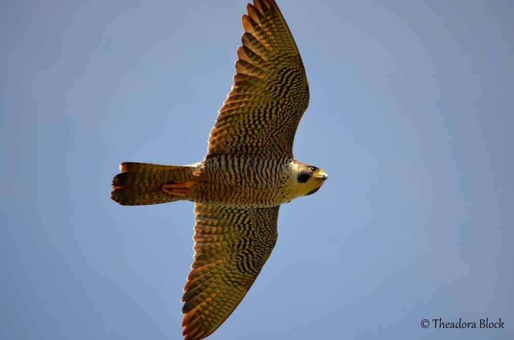 peregrine-falcon_26202874105_o.jpg