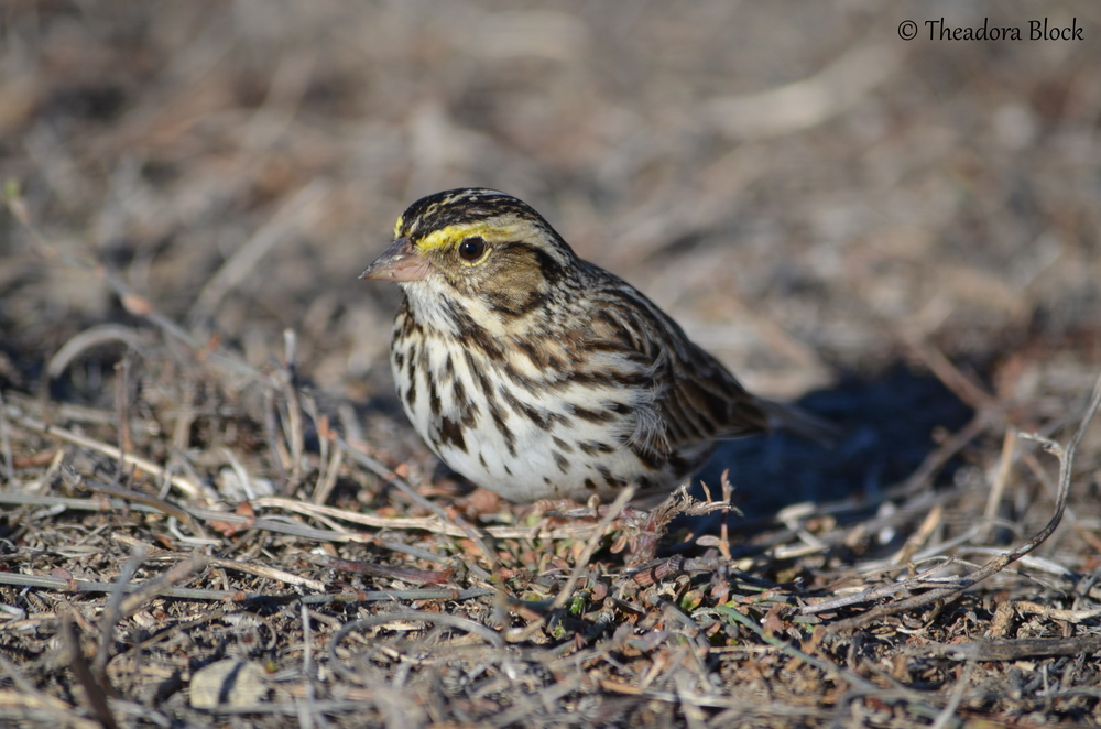 savannah-sparrow_26202881865_o.jpg