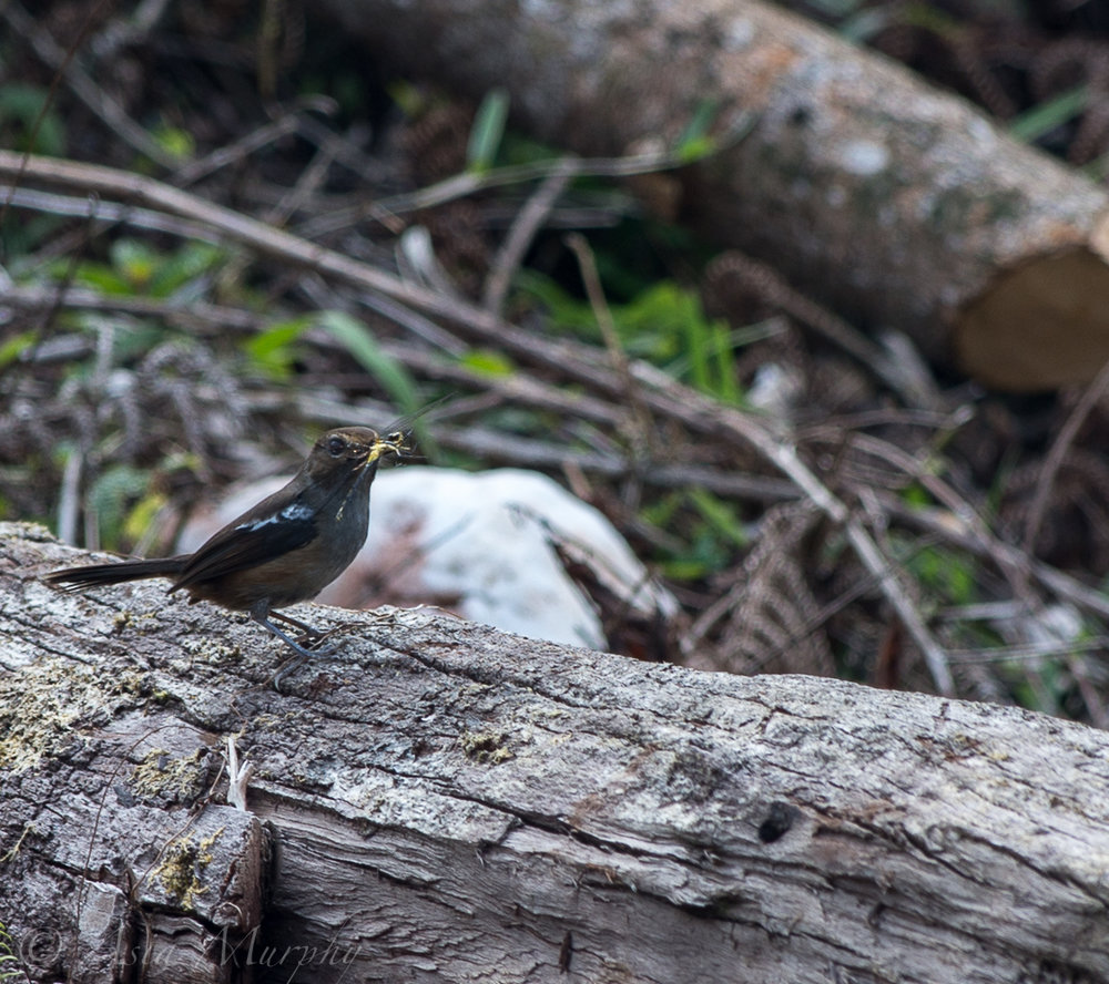 Madagascar Magpie-robin (Copsychus albospecularis)