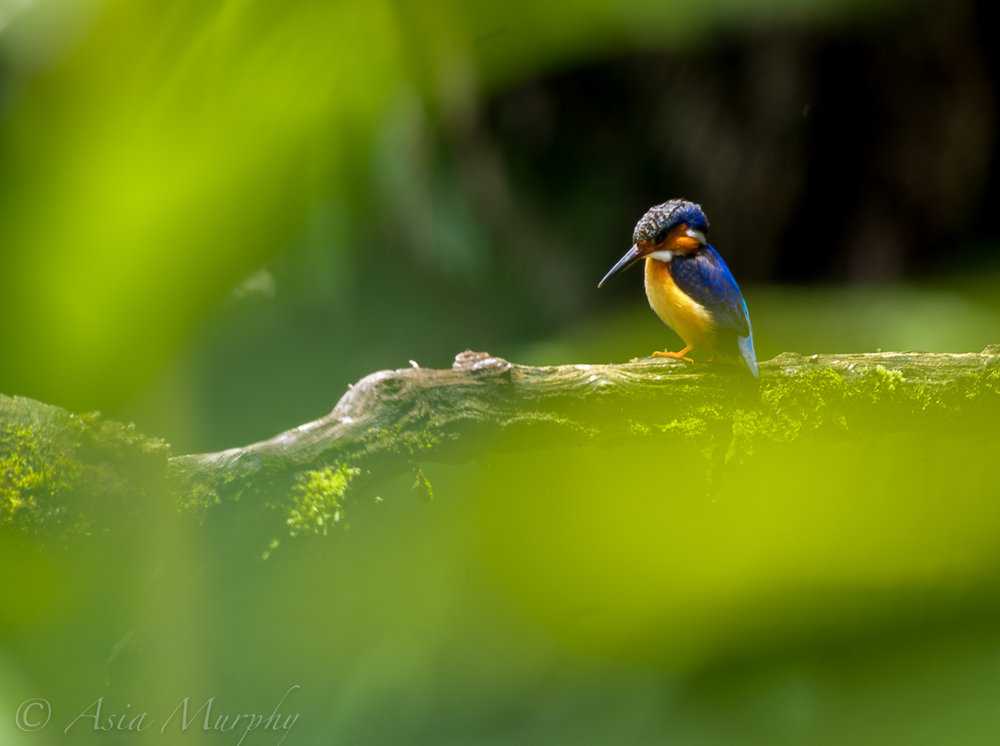 Malagasy Kingfisher (Corythornis vintsioides)