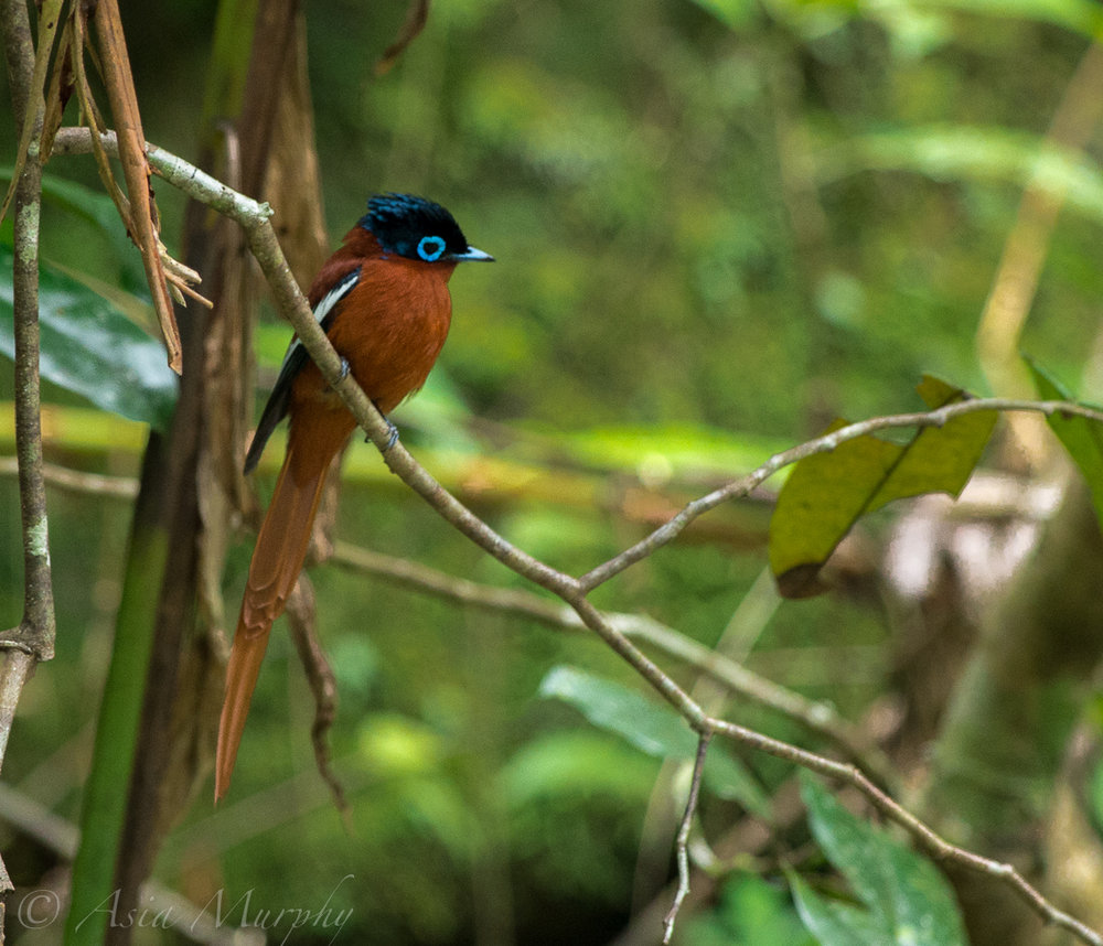 Malagasy Paradise Flycatcher (Terpsiphone mutata)