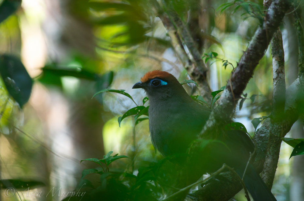 Red-fronted Coua (Coua reynaudii)