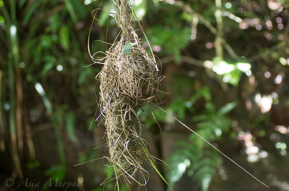 Sakalava Weaver Nest