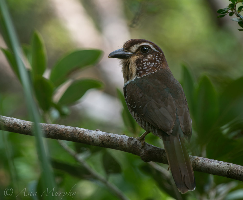 Short-legged Ground-roller (Brachypteracias leptosomus)