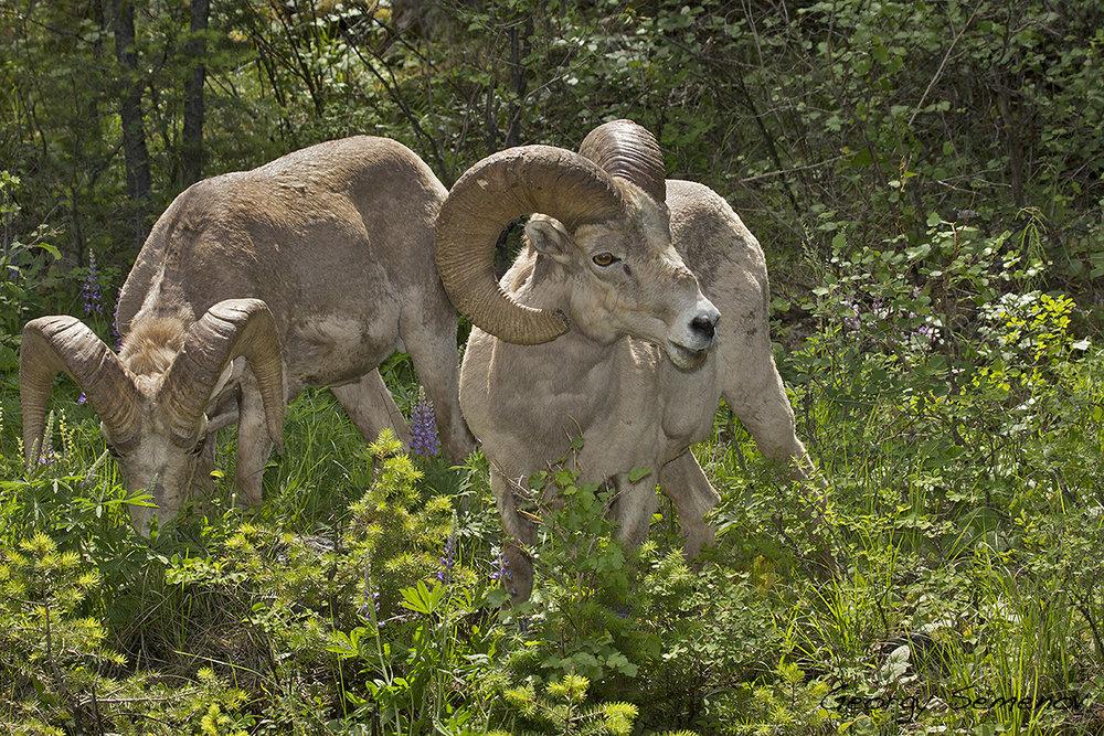 bighorn-sheep_25744921465_o.jpg