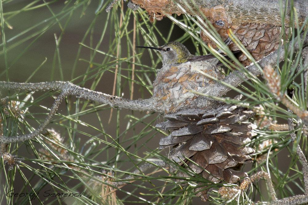 annas-hummingbird_25649866621_o.jpg