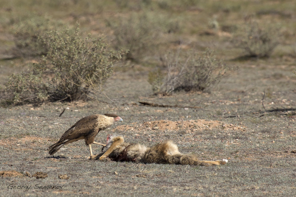crested-caracara-feeds-on-coyote-carcass_25744944345_o.jpg