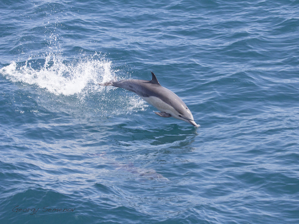 common-dolphin_26110340502_o.jpg