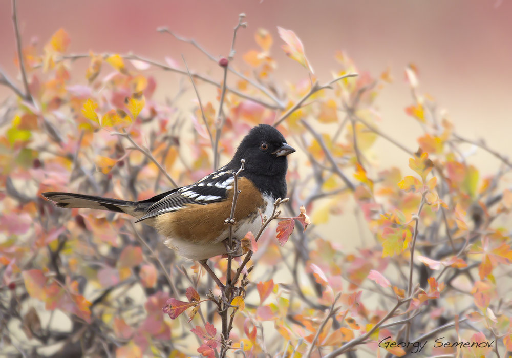 spotted-towhee_25290178355_o.jpg