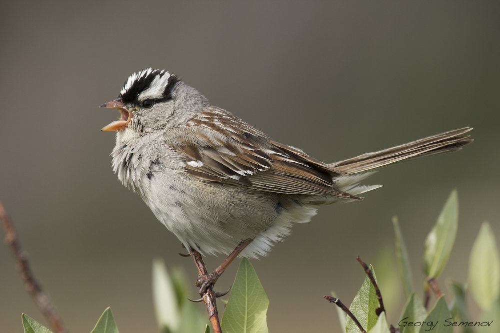 white-crowned-sparrow_25171927282_o.jpg
