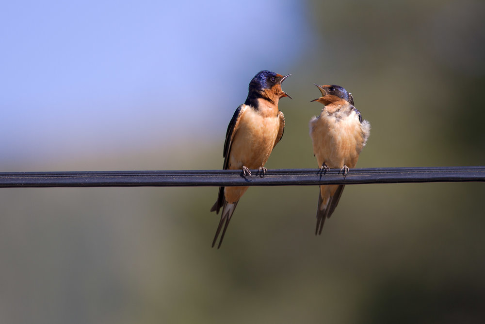 Barn swallow chatter