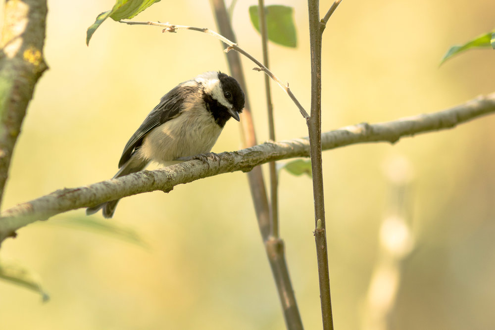 black-capped-chickadee_9669884623_o.jpg