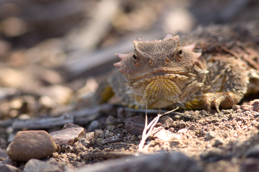 Coast Horned Lizard