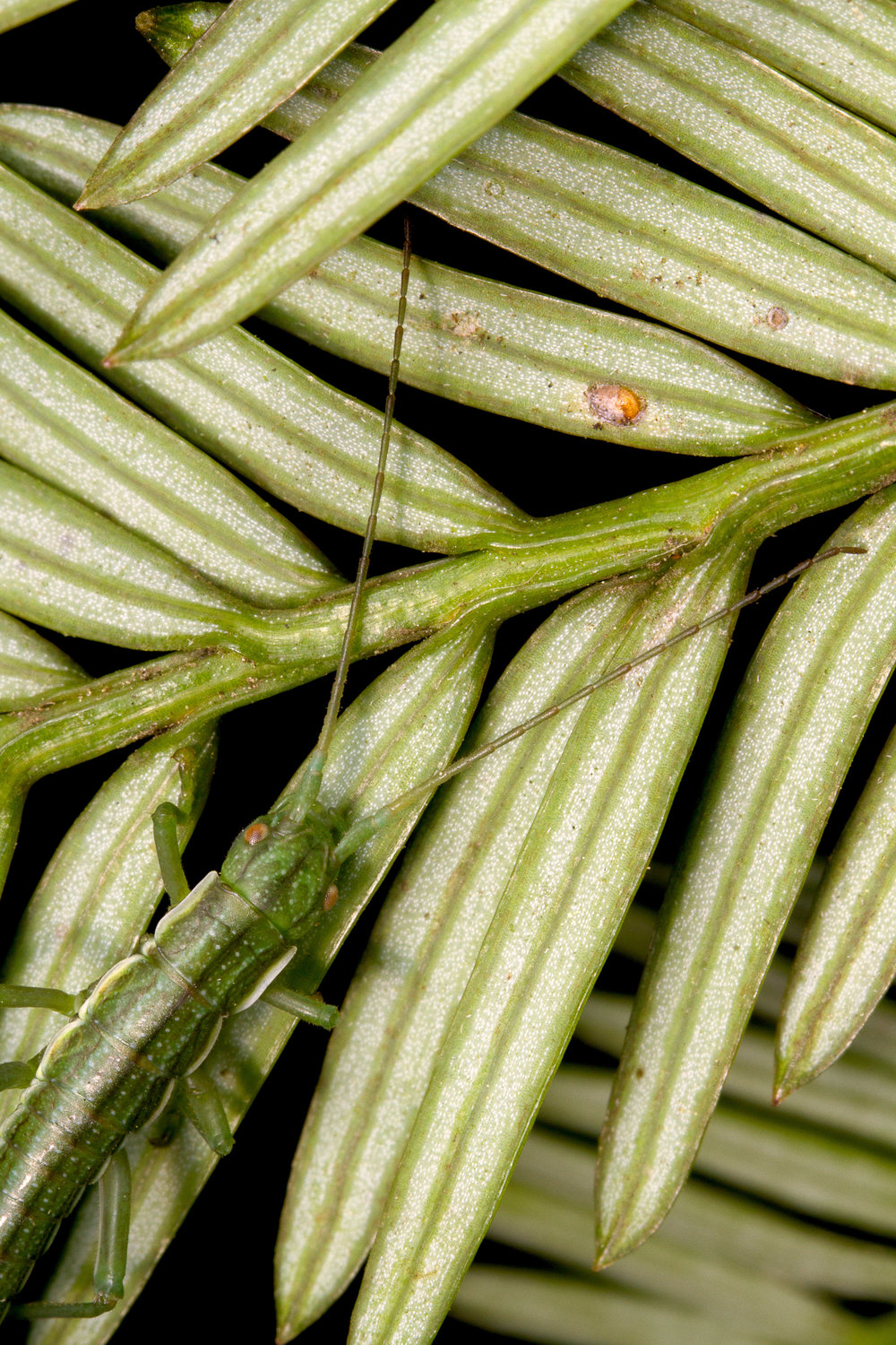 California stick insect (Timema poppensis)